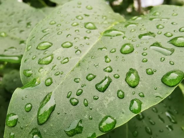 Nahaufnahme von hellgrünen blättern mit wassertropfen nach regen. konzept der lebendigen natur. flora, grün