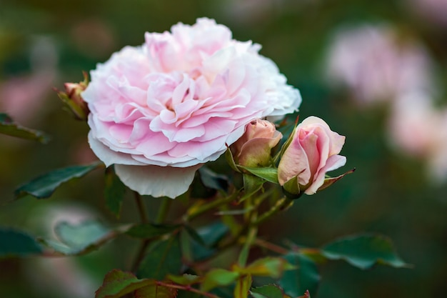 Nahaufnahme von hellrosa gartenrose mit knospen morden blush rasse von marshall
