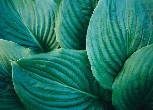 Nahaufnahme von hosta-blatt-hintergrund. pflanzentextur.