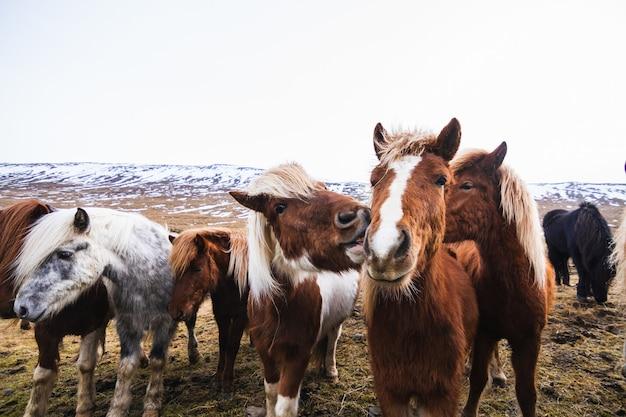 Nahaufnahme von islandpferden in einem feld, das im schnee und im gras in island bedeckt ist