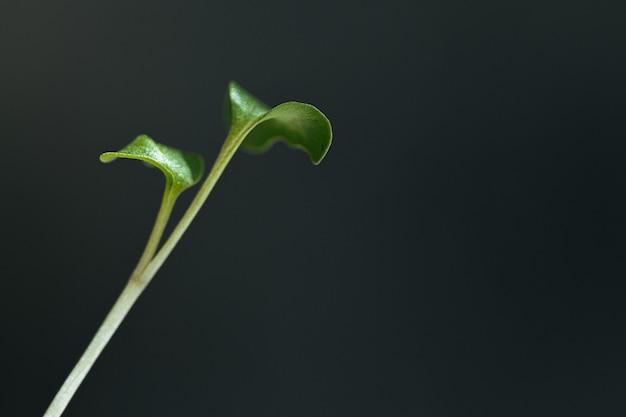Nahaufnahme von jungen grünen sprossen von mikrogrüns