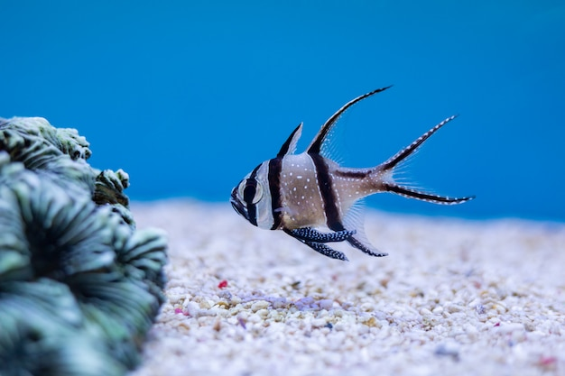 Nahaufnahme von kauderns kardinalfisch oder langflossen-kardinalfisch am thailand-ozean