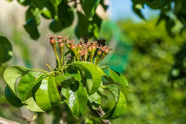 Nahaufnahme von kleinen birnen, die auf birnenbaum (obstbaum) wachsen. sonniger frühlingstag.