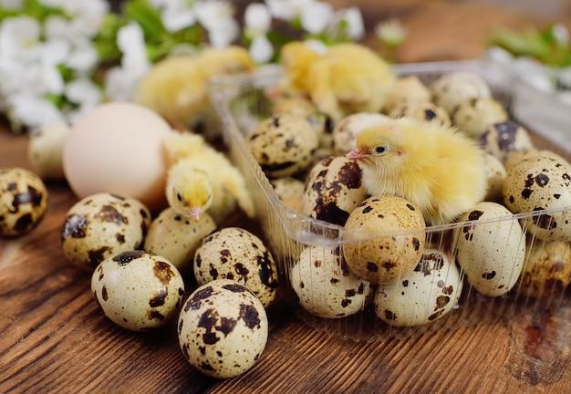 Nahaufnahme von kleinen gelben hühnern oder wachteln