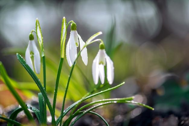 Nahaufnahme von kleinen weißen zarten schneeglöckchen nach dem regen mit wassertropfen im frühlingswald