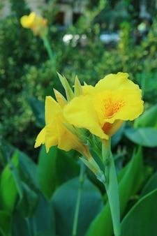 Nahaufnahme von leuchtend gelben canna lily blumen unter grünem laub