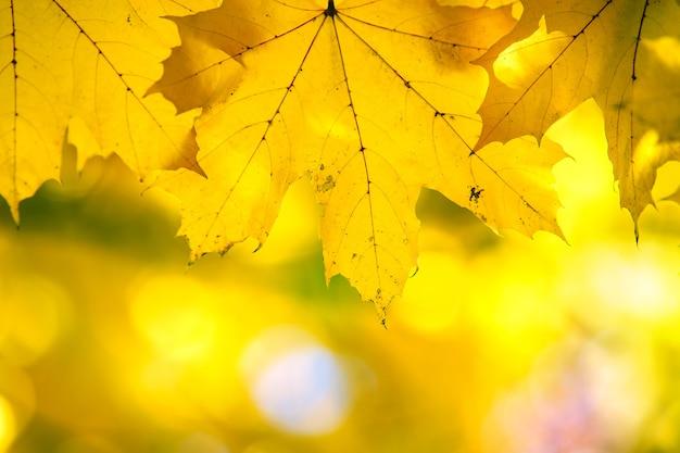 Nahaufnahme von leuchtend gelben und roten ahornblättern auf herbstbaumzweigen mit lebendiger, unscharfer oberfläche im herbstpark.