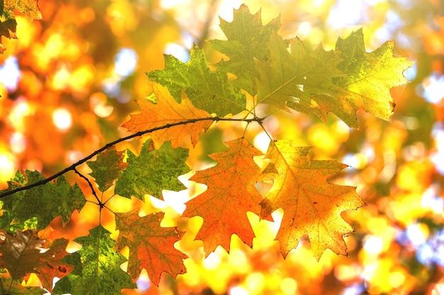 Nahaufnahme von leuchtend gelben und roten ahornblättern auf herbstbaumzweigen.