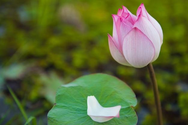 Nahaufnahme von lotusblume oder wasserblume