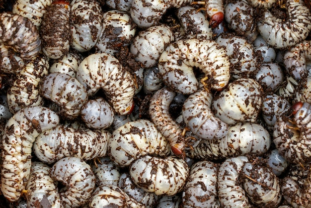 Nahaufnahme von madenwürmern, kokosnashornkäfer