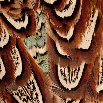 Nahaufnahme von männlichen amerikanischen gemeinsamen fasan, phasianus colchicus, federn