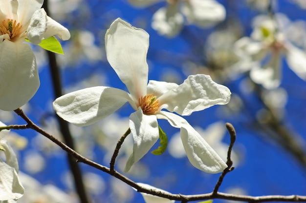 Nahaufnahme von magnolienblüten auf dem baumast