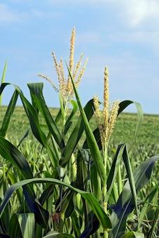 Nahaufnahme von maispflanzen mit quaste