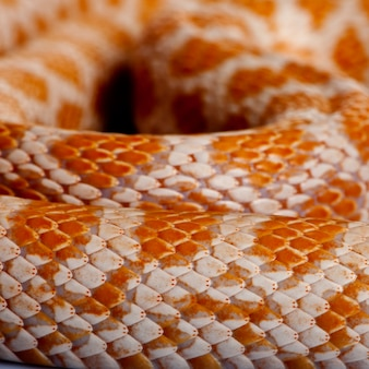 Nahaufnahme von maisschlangenhaut oder roter rattenschlangenhaut, pantherophis guttattus