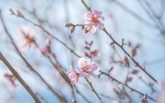Nahaufnahme von mandelbaumblüten über blauer himmelsoberfläche, selektiver fokus