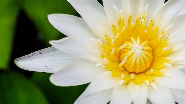Nahaufnahme von marco draufsicht weiße lotusblume oder seerose blüte auf der wasseroberfläche und dunklem hintergrund,