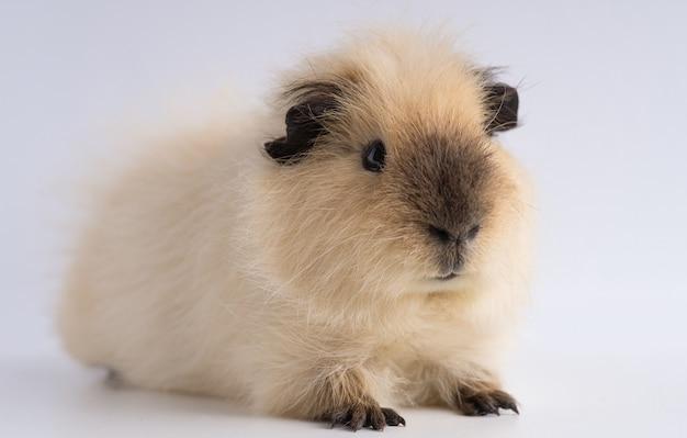 Nahaufnahme von meerschweinchen isoliert auf einem weißen