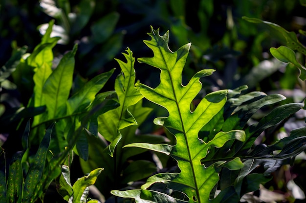 Nahaufnahme von monarchfarnfarnhintergrund. (phymatosorus scolopendria) nennen sie gewöhnlich moschusfarn, nach maile duftenden farn, brotfruchtfarn.