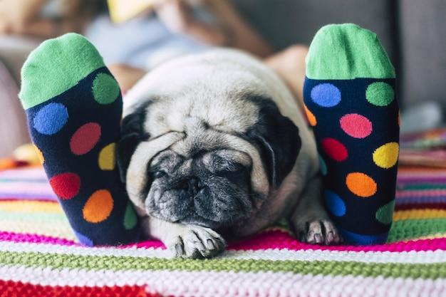 Nahaufnahme von mops hund liegt und schläft zwischen den füßen der frau. müder hund, der auf bett schläft netter kleiner welpe, der auf bett oder teppich zwischen den beinen des besitzers schläft