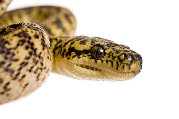 Nahaufnahme von morelia spilota variegata, einer unterart von python,