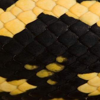 Nahaufnahme von morelia spilota variegata schlangenschuppen, einer unterart von python