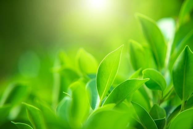 Nahaufnahme von naturgrünblättern auf einem verschwommenen grünen hintergrund unter morgensonne mit bokeh