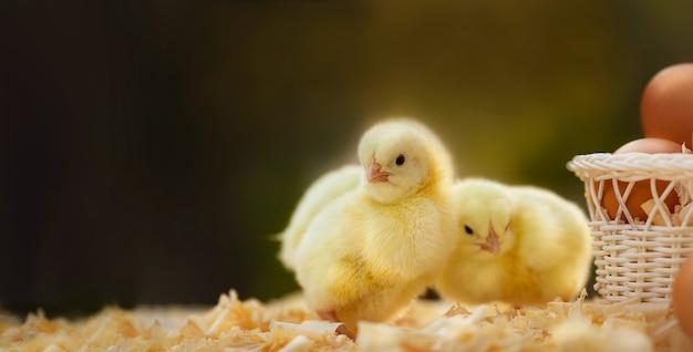 Nahaufnahme von neugeborenen gelben hühnern auf dunkelgrünem, unscharfen hintergrund mit eiern in busket und freiem raum von links. osterferien