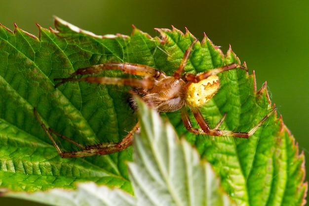 Nahaufnahme von oben auf das kaukasische kleine spinnenkreuz araneus diadematus mit einem kreuz auf der rückseite in einem netz vor dem hintergrund eines thuja-baumes im sommer.