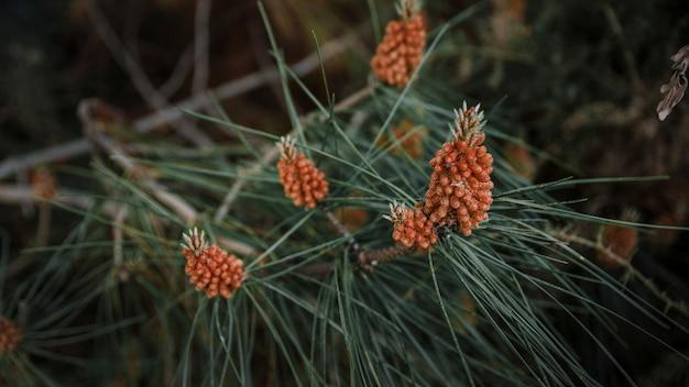 Nahaufnahme von pinecones, die auf bäumen wachsen