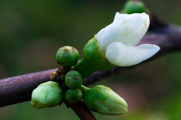 Nahaufnahme von prunus serrulata oder japanische kirsche, eine knospe auf einem ast. das ende des winters, das konzept eines neuen lebens im frühling