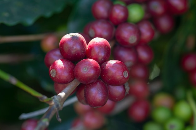 Nahaufnahme von reifen kaffeebohnen auf dem baum