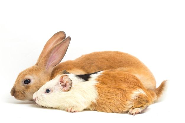 Nahaufnahme von rex-kaninchen und meerschweinchen