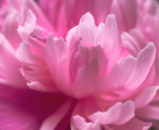 Nahaufnahme von rosa pfingstrosenblütenblättern. natürlicher weicher hintergrund für ihre designs.