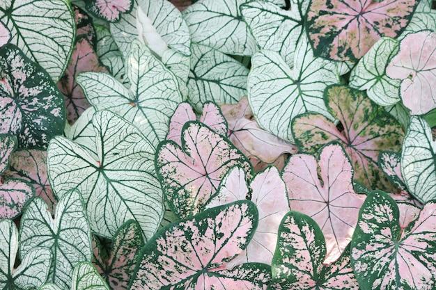 Nahaufnahme von rosa und grünen caladiumpflanzen