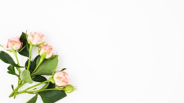 Nahaufnahme von rosen mit blättern auf der ecke des weißen hintergrundes