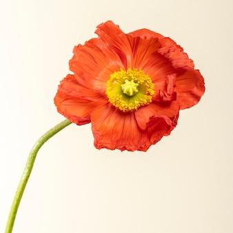 Nahaufnahme von roten mohnblumen sozialen anzeigen