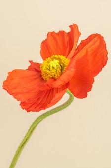Nahaufnahme von roter mohnblume auf beigem hintergrund