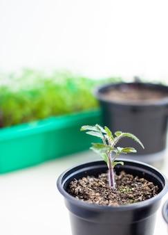 Nahaufnahme von sämlingen von grünen kleinen dünnen blättern einer tomatenpflanze in einem behälter, der im frühjahr drinnen im boden wächst. sämlinge auf der fensterbank