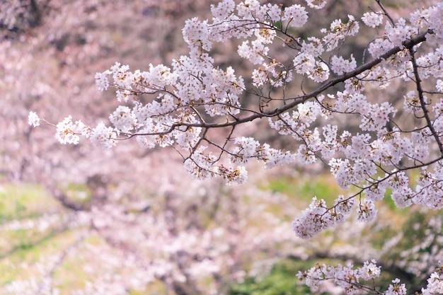 Nahaufnahme von sakura cherry blossom flower and branches