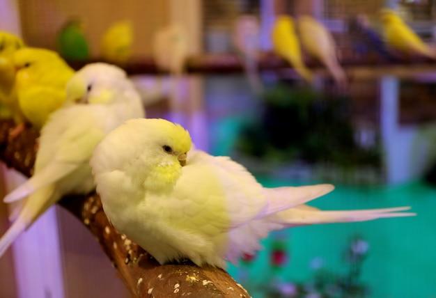 Nahaufnahme von schlafenden gelben pastellvögeln