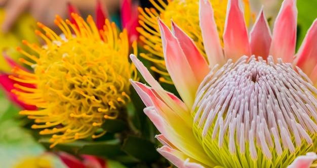 Nahaufnahme von schönen könig protea fynbos blumen in einem teich