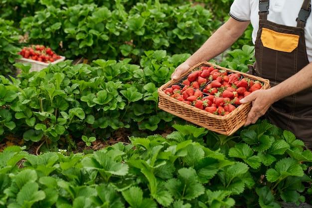 Nahaufnahme von senior gärtner in uniform, die frische reife erdbeeren im gewächshaus pflücken. alter mann, der saisonale beeren an der frischen luft erntet.