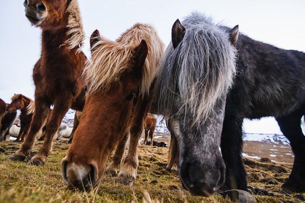 Nahaufnahme von shetlandponys in einem feld, das im gras und im schnee unter einem bewölkten himmel in island bedeckt ist
