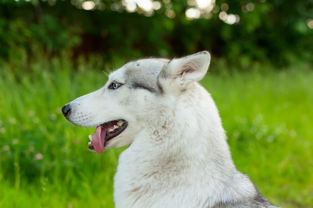 Nahaufnahme von siberian husky mit blauen augen.