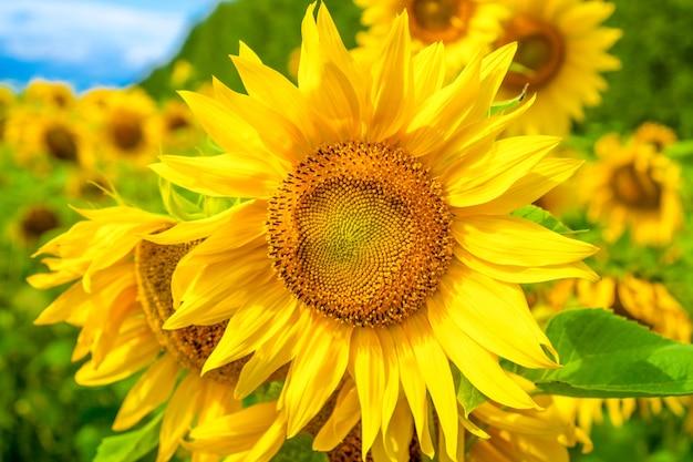 Nahaufnahme von sonnenblumenfeld mit hellen lichtern
