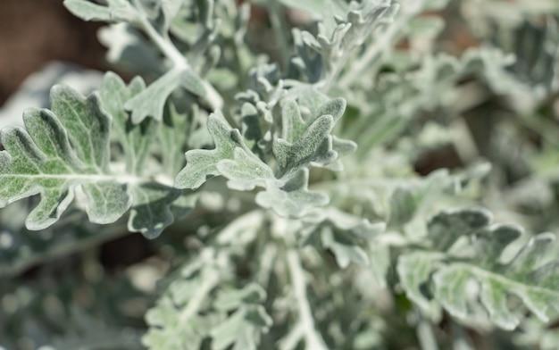 Nahaufnahme von staubigen müller oder silberkreuzkraut