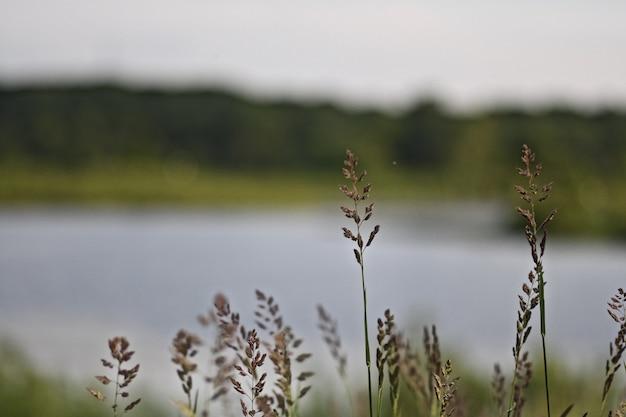 Nahaufnahme von süßem gras in einem feld mit dem fluss auf dem verschwommenen hintergrund
