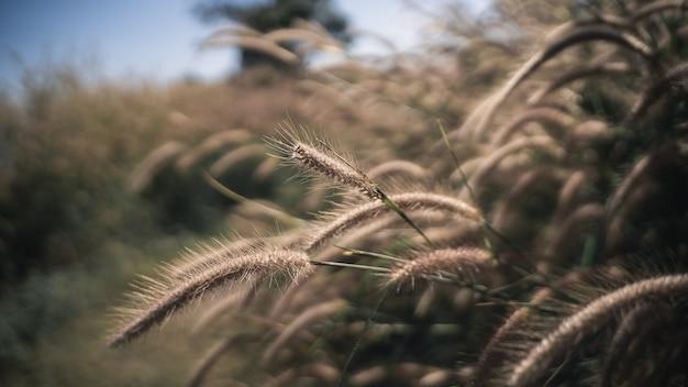 Nahaufnahme von trockenem gras trockener pflanze stroh sonnenuntergang