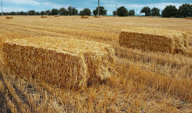 Nahaufnahme von trockenen heuhaufen im feld. natürlicher landwirtschaftshintergrund. nahaufnahme von trockenen heuhaufen im feld. hintergrund der natürlichen landwirtschaft.