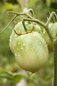 Nahaufnahme von unreifen grünen tomaten mit wassertropfen, die auf dem ast in natürlichem, unscharfen hintergrund wachsen. geringe schärfentiefe. Premium Fotos